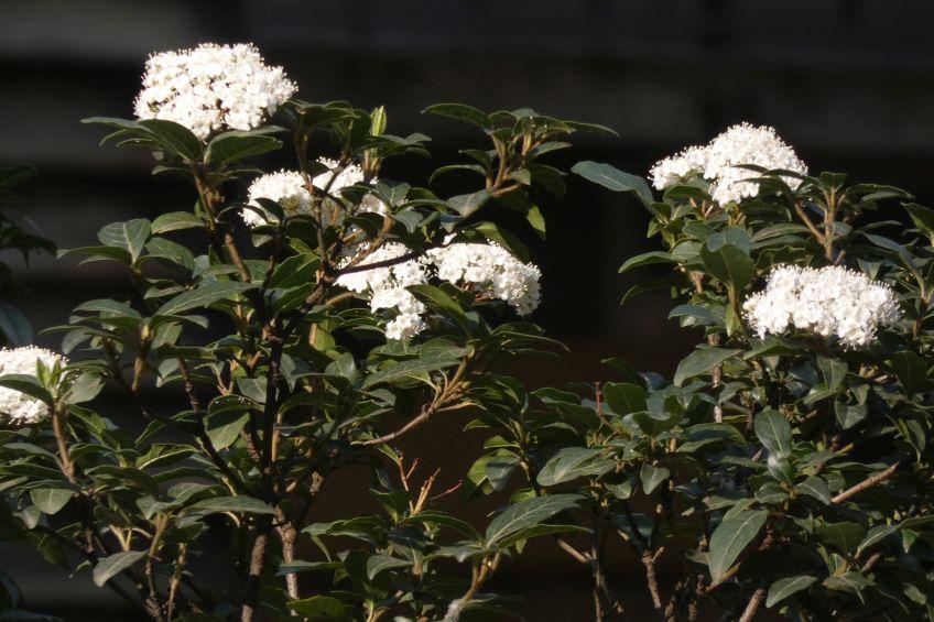 Quale Viburno ?  Viburnum tinus  (Caprifoliaceae)