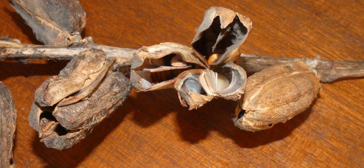 Dal New Mexico: Yucca elata (Asparagaceae)