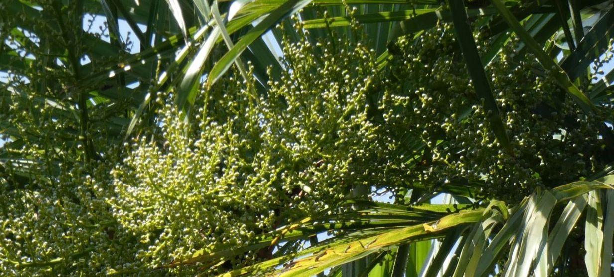 Palma: Trachycarpus fortunei