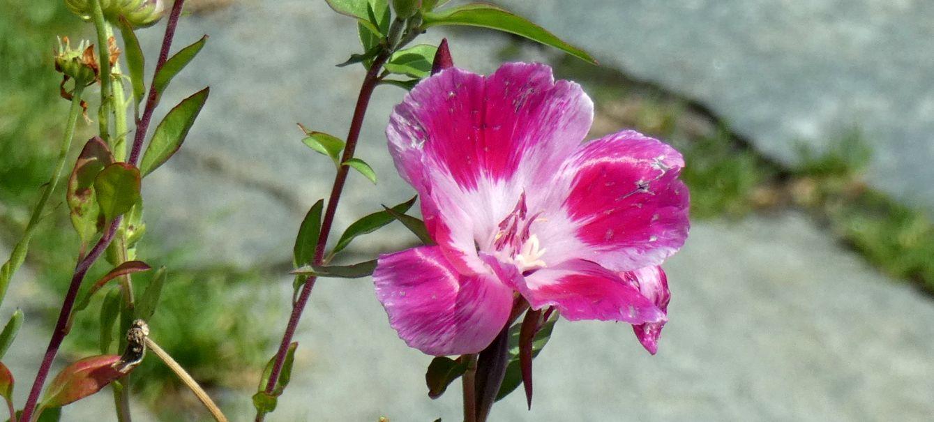 cv di Clarkia amoena (Onagraceae)