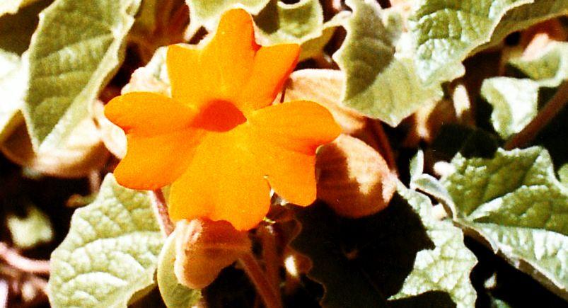 Dalla California: Thunbergia gregorii (Acanthaceae)