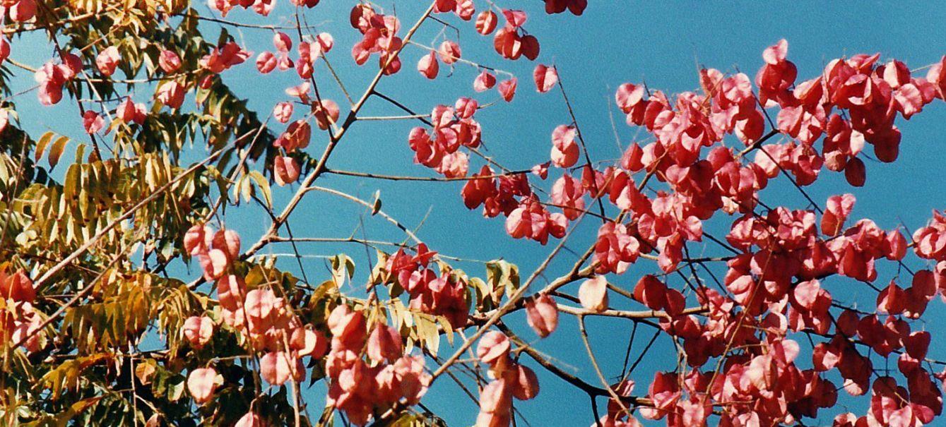 Dalla California: Koelreuteria elegans subsp. formosana  (Sapindaceae)