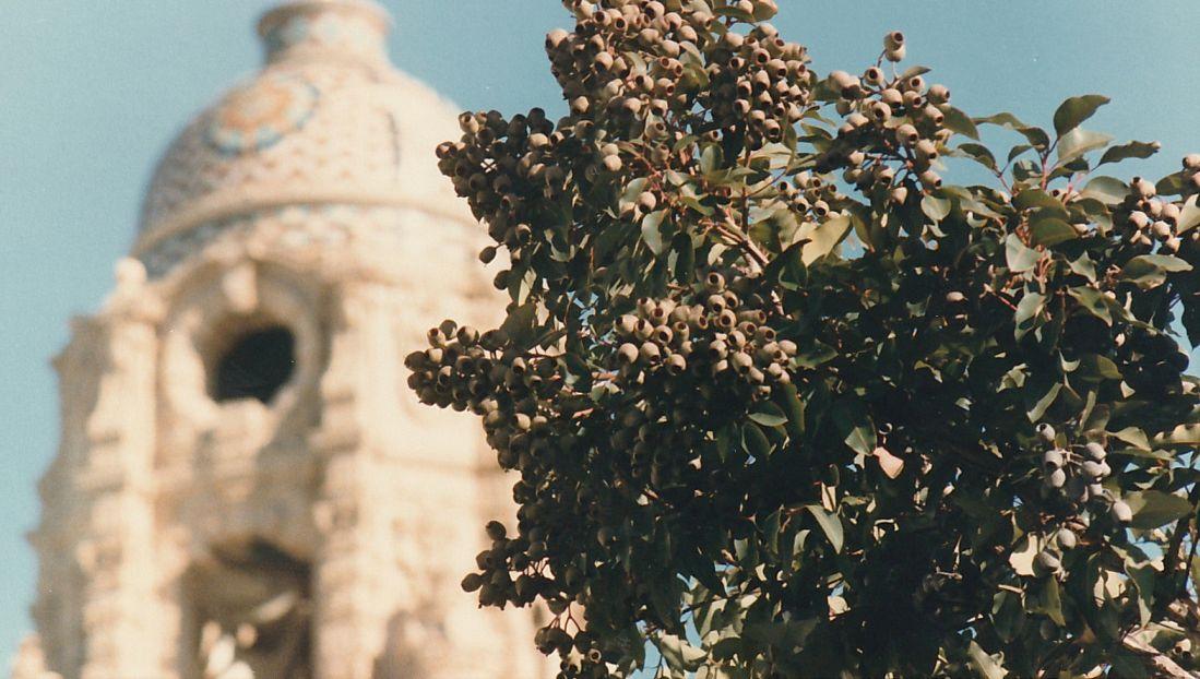 Dalla California: Corymbia calophylla (Myrtaceae)
