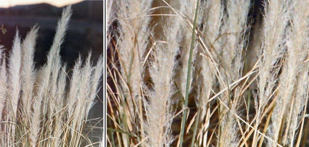 Dall''Arizona: Cortaderia sp.?
