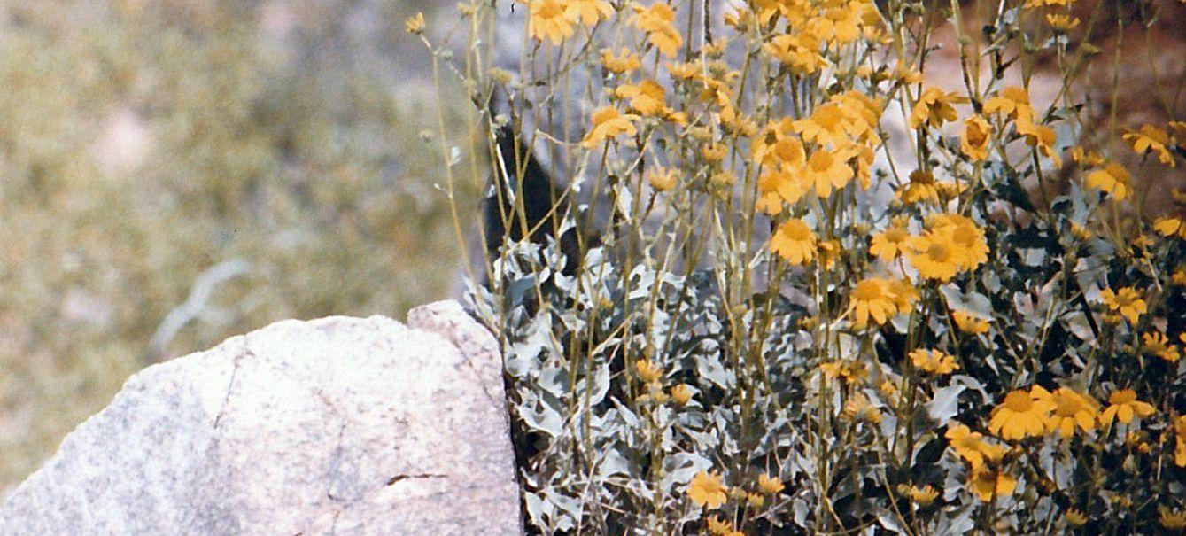 Dall''Arizona: Asteracea: Encelia farinosa