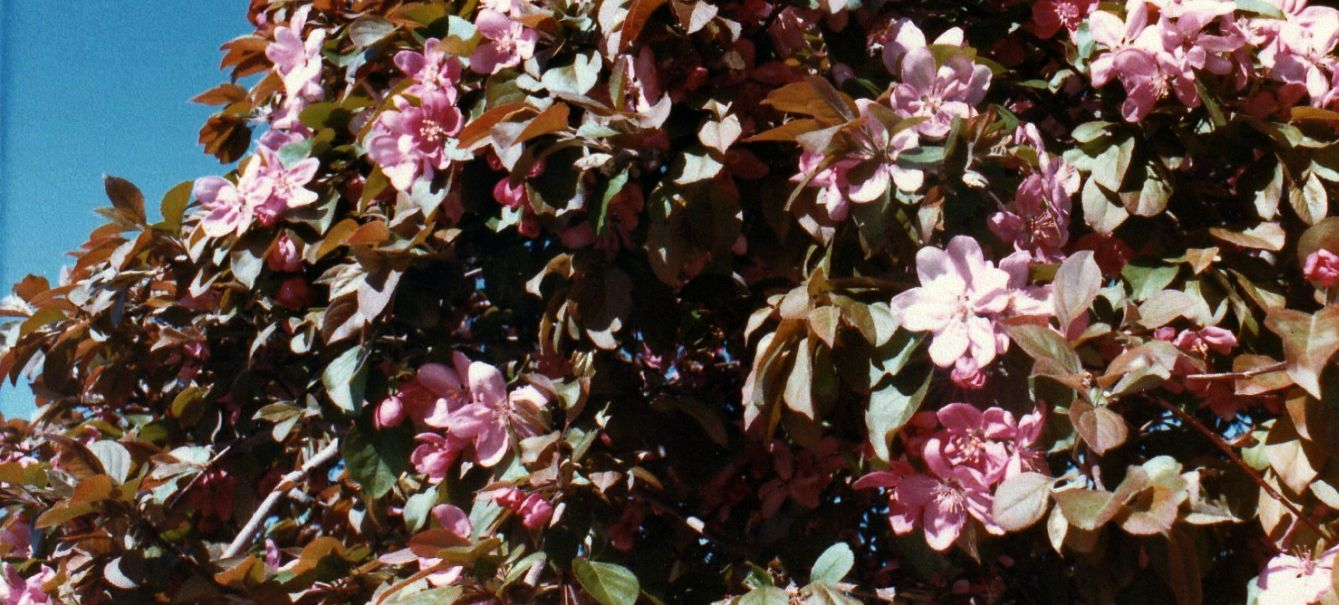 Dall''Arizona: Prunus sp.
