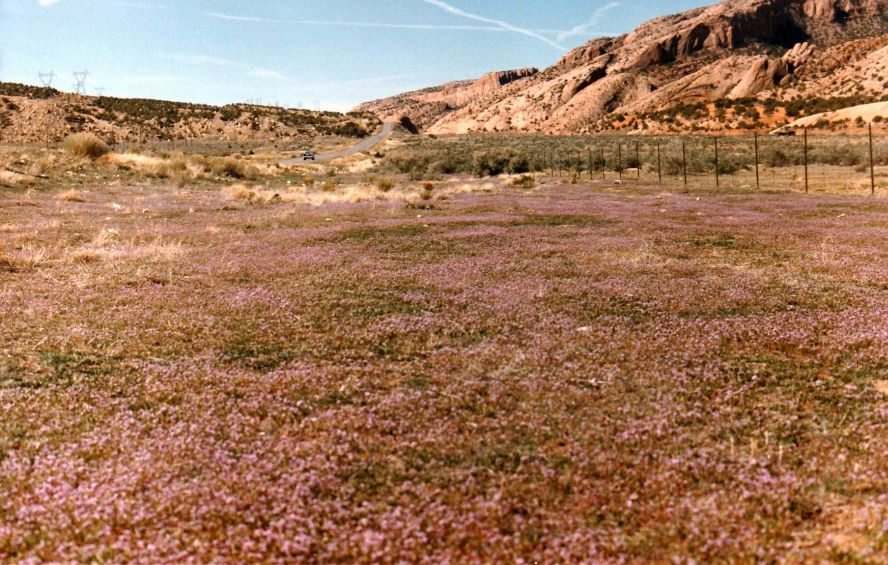 Dallo Utah: Chorispora tenella/Purple Mustard (Brassicaceae)