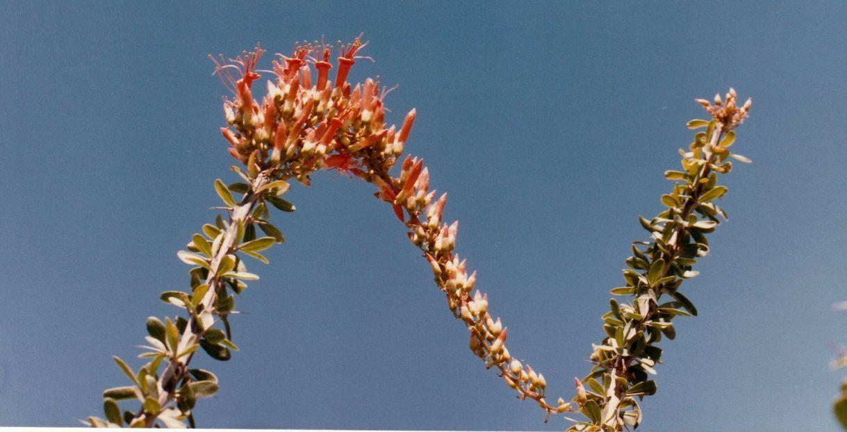 Dall''Arizona: Ocotillo/Fouquieria splendens (Cucurbitaceae)