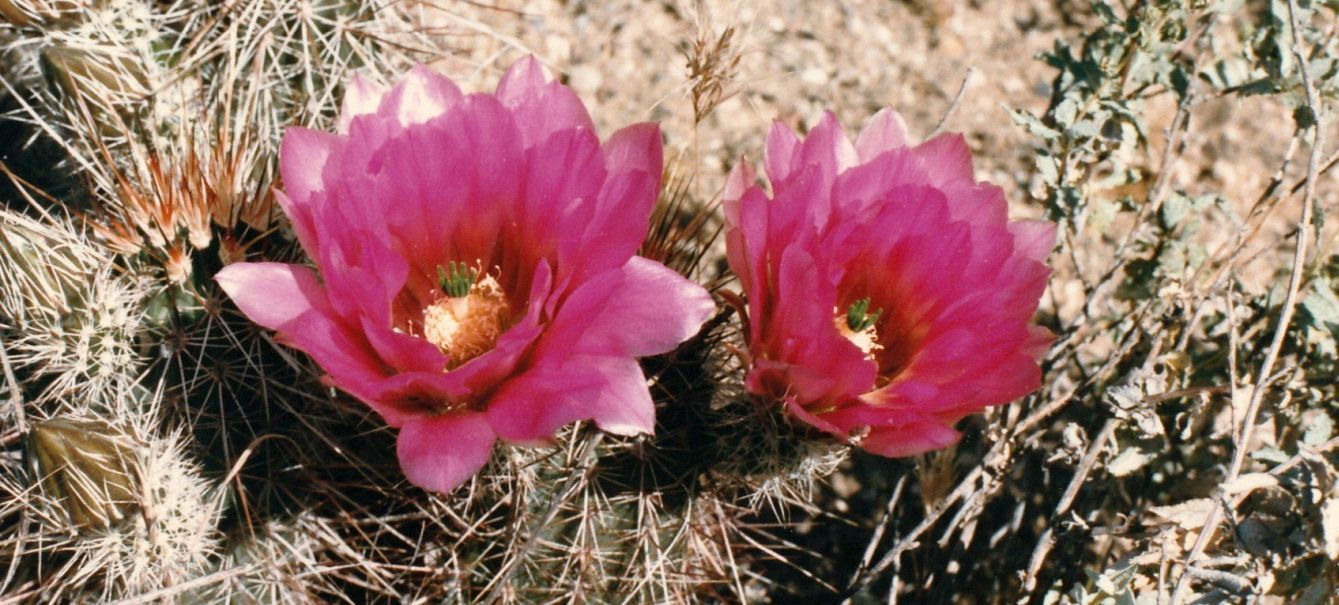Dall''Arizona: Echinocactus ? No,Echinocereus cfr.engelmannii