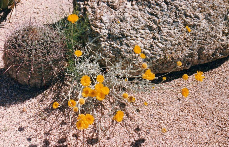 Dall''Arizona: Asteraceae: Encelia farinosa ? No, Baileya multiradiata