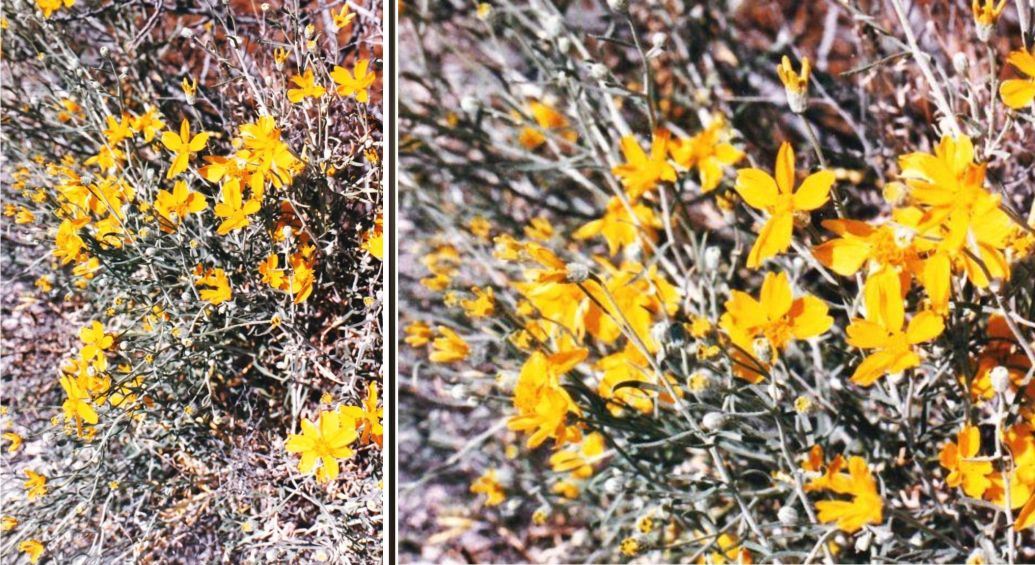 Dall''Arizona: Asteraceae:  cfr. Psilostrophe cooperi