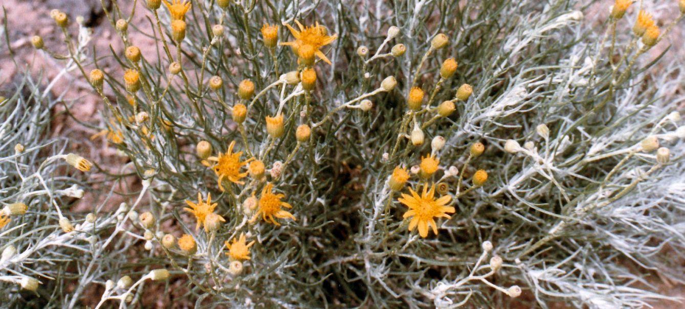 Dall''Arizona: altra Asteracea da id.