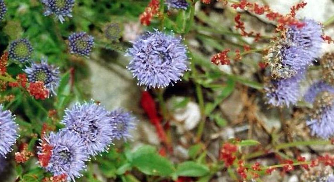Dalle Shetland: Jasione montana (Asteraceae)