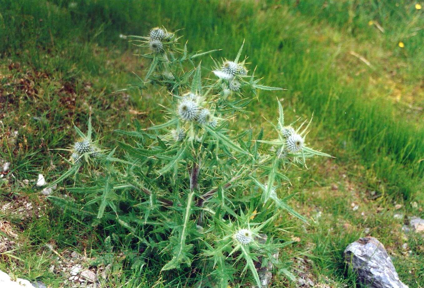 Dalle Shetland: Cirsium vulgare (Asteraceae)