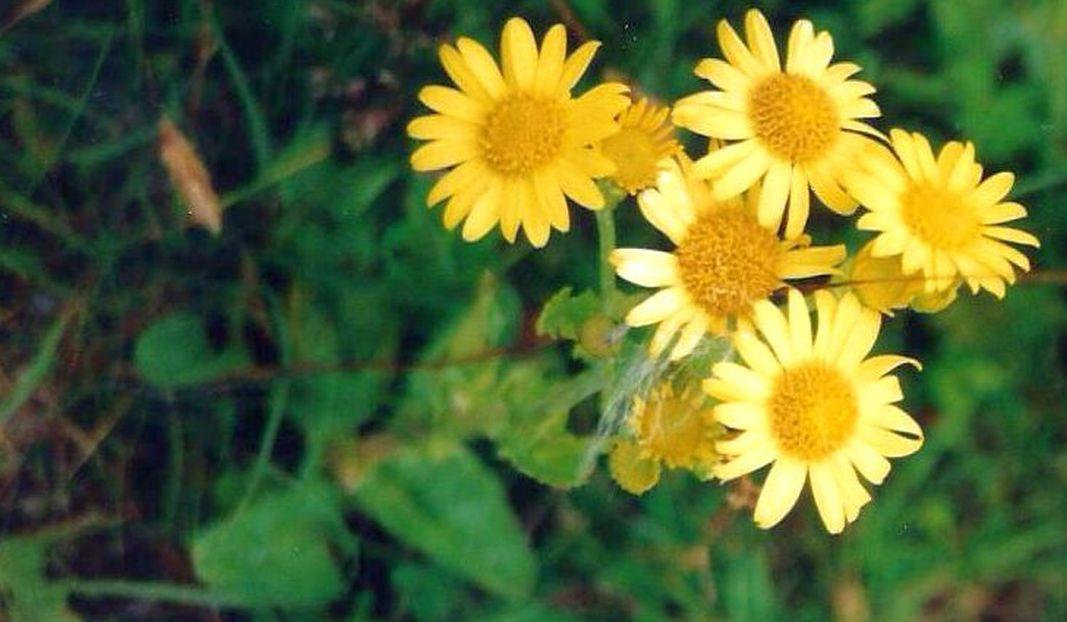 Dalle Shetland: Jacobaea aquatica ornata (Asteraceae)