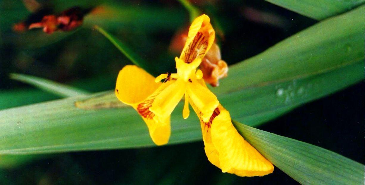 Dalle Shetland: Iris pseudacorus