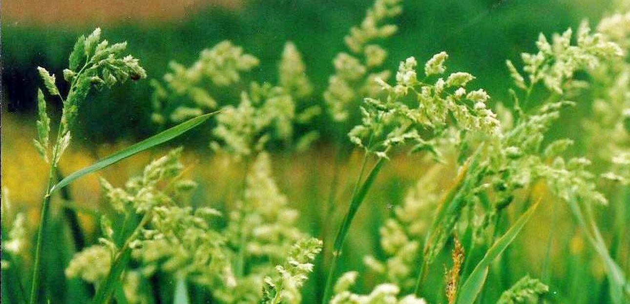 Dalle Shetland: Dactylis glomerata (Poaceae)