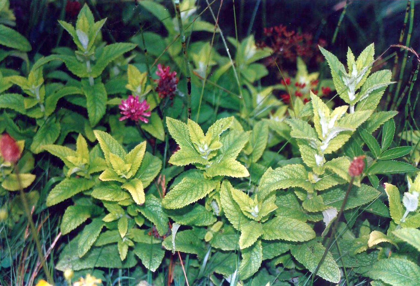Dalle Shetland: Mentha longifolia(Lamiaceae) o un suo ibrido