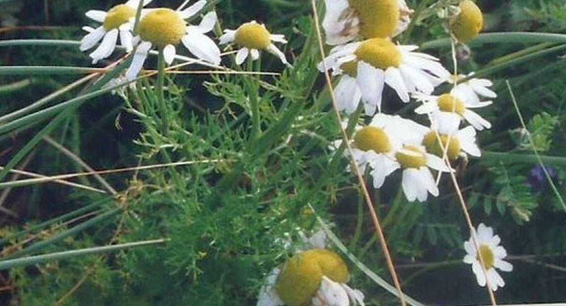 Dalle Shetland: Tripleurospermum inodorum (Asteraceae)
