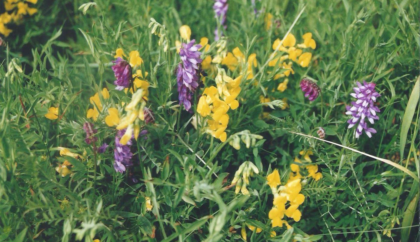 Dalle Shetland: Lathyrus pratensis (FAbaceae)