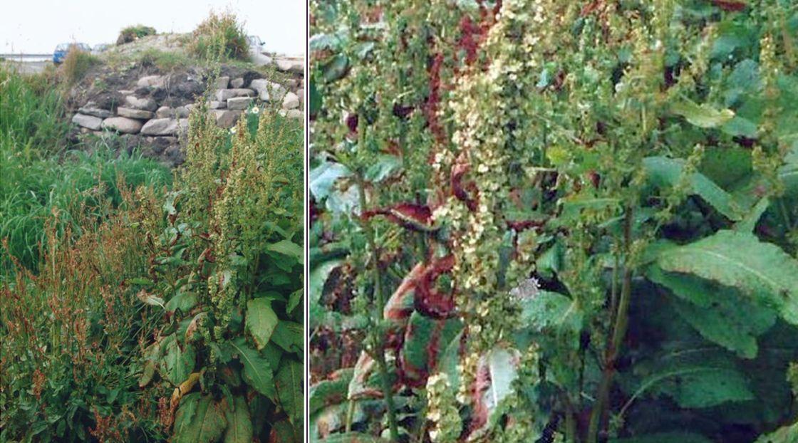 Dalle Shetland: piante medicinali... preistoriche