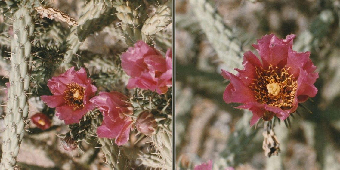 Dall''Arizona: due specie di Cylindropuntia sp.