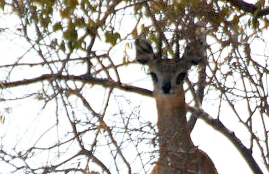dal Sud Africa: Saltarupi (Oreotragus oreotragus)