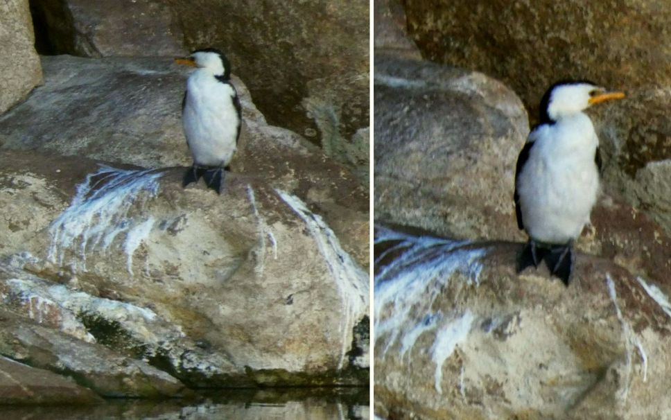 Uccelli dall''Australia (NT): Microcarbo melanoleucos e Tachybaptus novaehollandiae