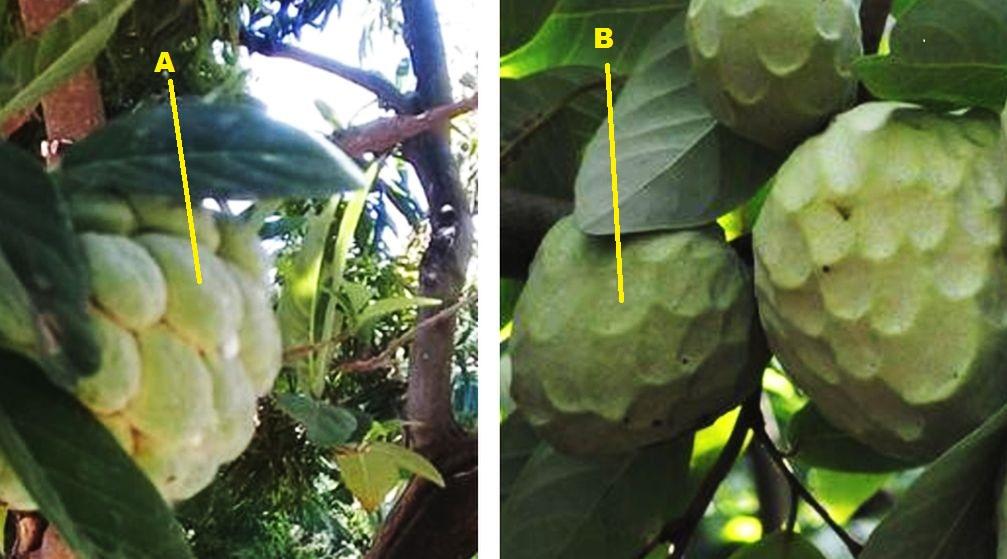 piante Kenia:  Annona cfr. squamosa