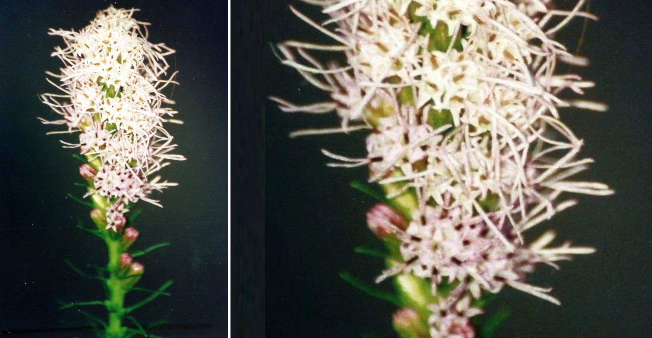 Liliacea (?)  No!   cv di Liatris spicata (Asteraceae)