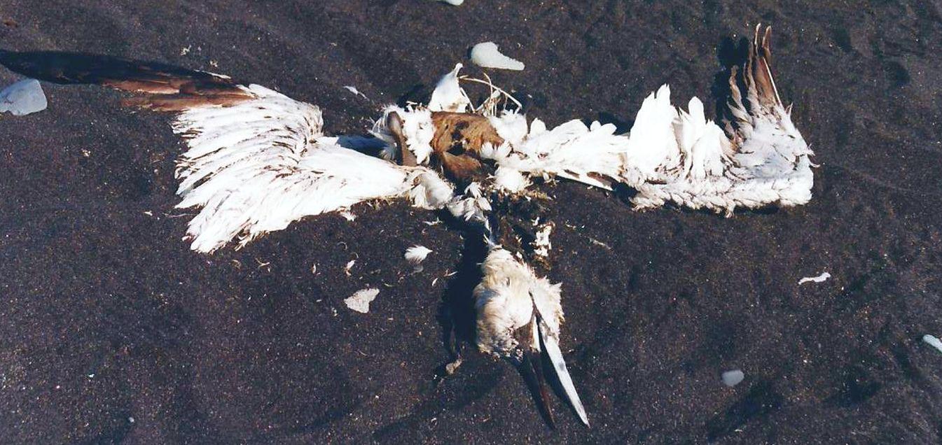 Uccelli marini islandesi....morti
