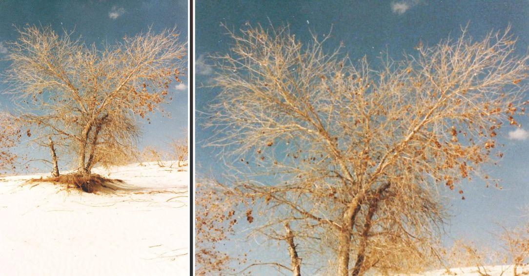 Dal New Mexico:  Populus deltoides (Salicaceae)