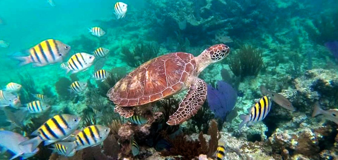 Tartaruga caraibica: Chelonia mydas mydas